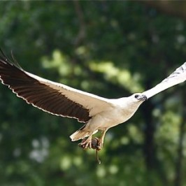 White-bellied Sea Eagle foraging in monsoon drain