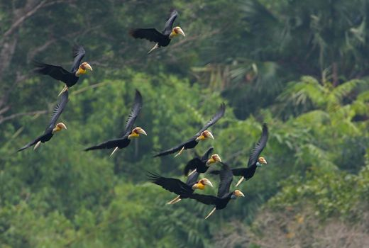 Plain-pouched Hornbill: Migration or flocking?