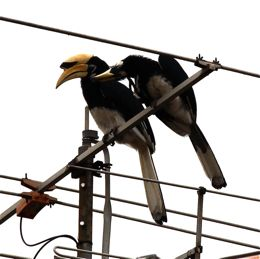Oriental Pied Hornbill in comfort behaviour