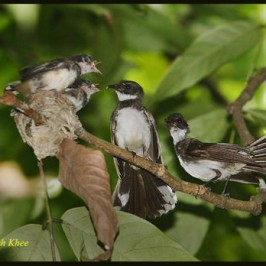 A family of Pied Fantail
