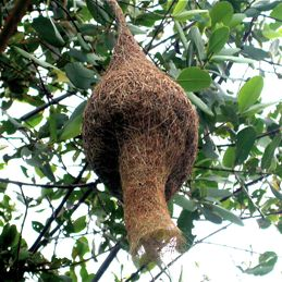 Sophisticated architecture of Baya Weaver's nest