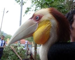 Plain-pouched Hornbill: Injured juvenile rescued