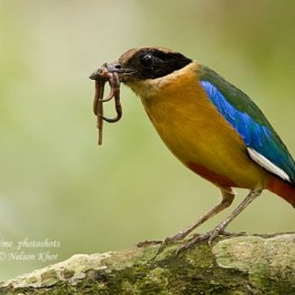 Nesting of the Blue-winged Pitta