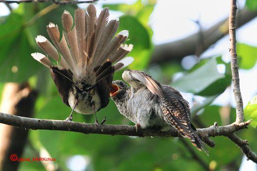 Pied Fantail feeding juvenile cuckoo