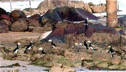 Oriental Pied Hornbills partying at Pulau Ubin