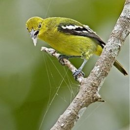 Common Iora collecting spider silk for nest material