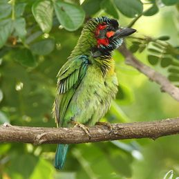 Blue-eared Barbet's pouch: Vocalisation rather than storage