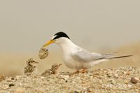 Breeding ecology of the Little Tern
