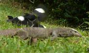 Javan Mynas harassing a monitor lizard