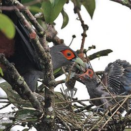 Chestnut-bellied Malkoha feeding chick a lizard