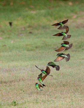 Blue-throated Bee-eater: 4. Flight sequence