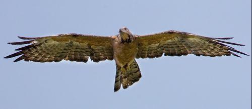 Oriental Honey-buzzard attacking wasp nest