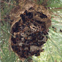 Wasp nest in ground
