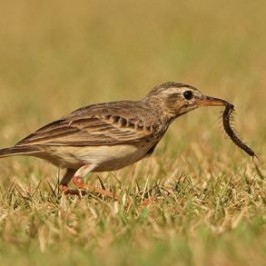 Paddyfield Pipit catching centipede