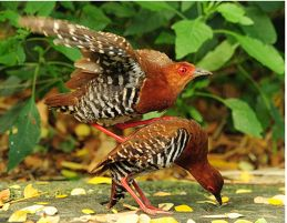 Red-legged Crake: Aborted or experimental sex?