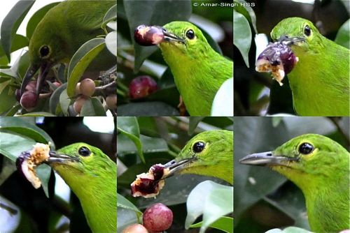 Greater Green Leafbird and others feeding on figs