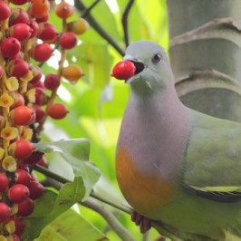 Pink-necked Green Pigeon swallows MacArthur palm fruit