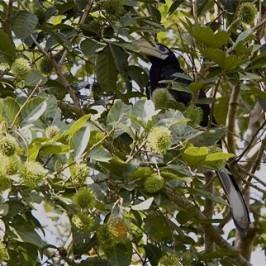 Oriental Pied Hornbill eats rambutan