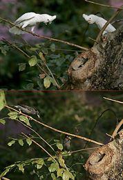 Oriental Pied Hornbill: Nesting distractions