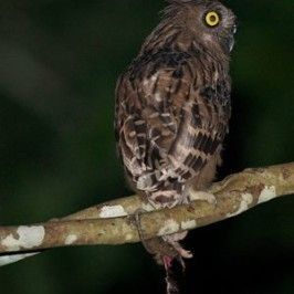 Buffy Fish-owl and a half eaten rat