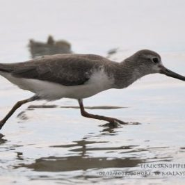 Terek Sandpiper: Foraging behaviour
