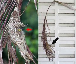 Olive-backed Sunbird : A miscalculated nesting