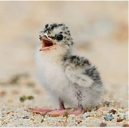 First two days in the life of a Little Tern chick