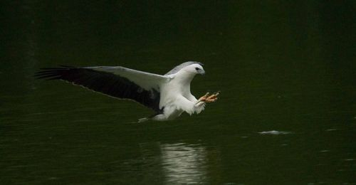 White-bellied Sea Eagle catching terrapin