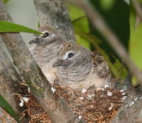 ZEBRA DOVES – 7. The chicks have fledged