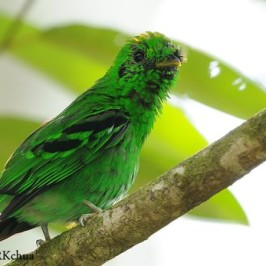 <strong>Broadbills of the Thai-Malay Peninsula</strong>