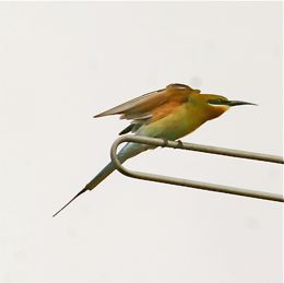 Bee-eaters and comfort behaviour