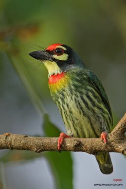 Barbets of Singapore