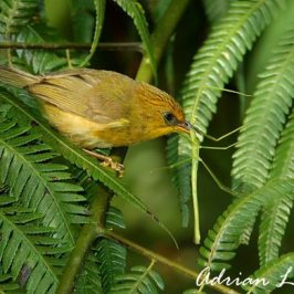 <strong>Golden Babbler catching stick insect</strong>