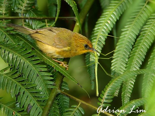 Golden Babbler catching stick insect