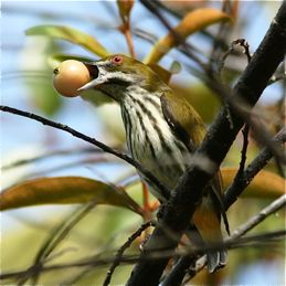Yellow-vented Flowerpecker eating Indian cherry