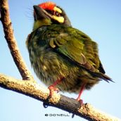 Of nesting shiftwork and Coppersmith Barbets (Part 4)