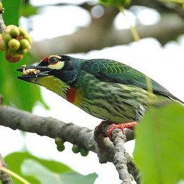 Barbets eating figs