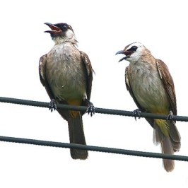Pairing of Yellow-vented and Sooty-headed Bulbul