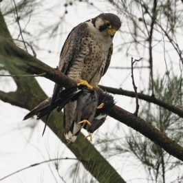 Peregrine Falcon preying on a Javan Myna