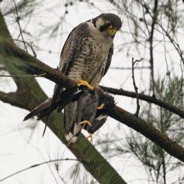 Peregrine Falcon preying on a Javan Myna