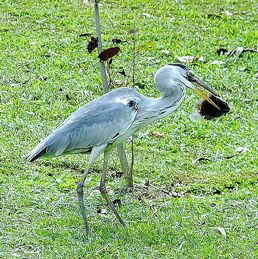 <strong>Grey Heron swallowing fish</strong>