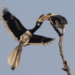 Malabar Pied Hornbills locking bills
