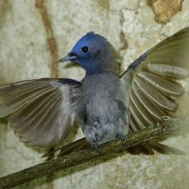 Black-naped Monarch in display