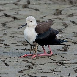 Black-winged Stilt brooding chicks
