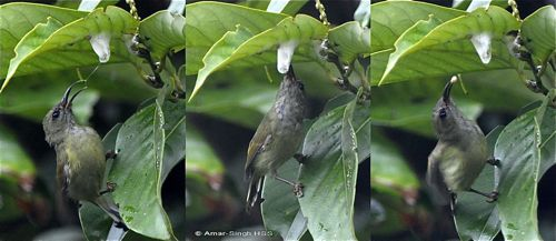 Black-throated Sunbird's hunting technique