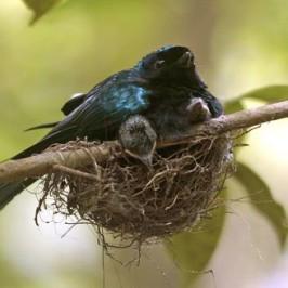 Bronzed Drongo nesting