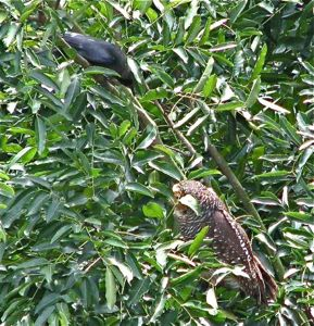 Mobbing of Spotted Wood Owl at Toa Payoh