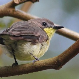 Golden-bellied Gerygone – Failed Nesting