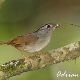 <strong>Mountain Fulvetta collecting nesting material</strong>