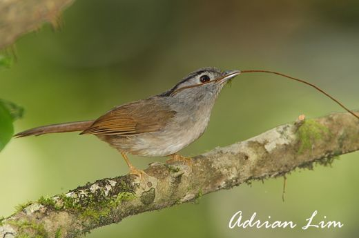 Mountain Fulvetta collecting nesting material